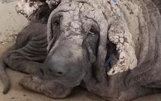 Chú chó hoang khổ sở, nhìn như sắp hóa đá khiến nhiều người há hốc ngạc nhiên với diện mạo hiện tại sau khi được cứu trợ