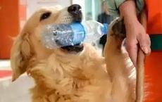 Được người lao công cưu mang lúc bị thương, chú chó hàng ngày chăm chỉ báo ơn khiến bao người thích thú