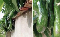 Anh hàng xóm 'số hưởng' nhất Việt Nam: Không trồng bơ nhưng vẫn có ăn, quả nào quả nấy cũng khổng lồ và mọc trĩu cả cành