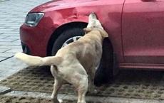 Chó hoang nằm bên đường bị chủ xe đá bay ra chỗ khác, 10 phút sau quay lại, anh ta hối hận không kịp