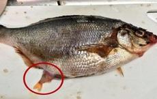 Mua được con cá có phần bụng to bất thường, mổ ra xem, người đàn ông giật mình với những thứ được tìm thấy bên trong