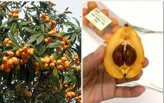 Nhật Bản có loại quả mọc dại đầy đường không ai hái, về đến Việt Nam có giá lên tới 4 triệu/kg, chỉ dành cho hội nhà giàu?
