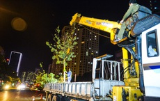 [ẢNH] Hàng chục công nhân xuyên đêm di chuyển hàng cây phong lá đỏ trên đường Trần Duy Hưng