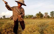 Nikkei chỉ ra lý do xuất khẩu gạo của Thái Lan suy giảm mạnh, tụt lại so với Việt Nam và Ấn Độ