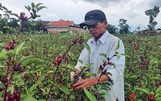 Trồng loài cây chỉ lấy hoa đỏ, mỗi năm người dân ở Thừa Thiên Huế thu cả trăm triệu đồng