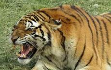 Hổ Siberia nhảy qua hàng rào điện cao 3,6 mét, cắn chết người, giết một con hổ khác