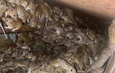 Australia: Chuột chết khắp nơi, bốc mùi kinh khủng; nông dân bẫy được tận 1.000 con 1 đêm