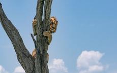 """Thấy """"vua của muôn loài"""" ôm cây sợ hãi, nhiếp ảnh gia nhìn xuống dưới lập tức hiểu ra vấn đề"""