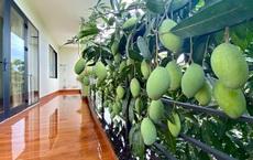 Cô hàng xóm may mắn nhất Việt Nam: Không trồng xoài nhưng vẫn có quả 'dâng tận miệng', mọc bên nhà mình thì là của mình rồi!