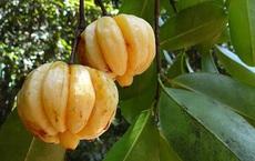 """Một loại quả """"gia vị"""" quen thuộc của Việt Nam nhưng nhiều người không hề biết, lại còn tưởng nhầm là quả ổi"""