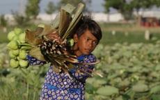 24h qua ảnh: Cậu bé thu hoạch hoa sen ở Campuchia