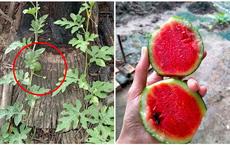 23 ngày sau khi phát hiện cây hoang, chủ vườn vặt trái định làm món kho, bổ ra mới sững sờ vì thành quả