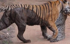Video: Cuộc chiến khốc liệt một mất một còn giữa hổ và báo đốm