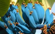 Giống chuối xanh biếc kì lạ tưởng chỉ là photoshop nào ngờ có thật 100%, lại còn được trồng ở rất gần Việt Nam