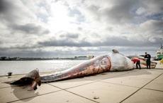 24h qua ảnh: Xác cá voi dài 15m trên cầu tàu ở Hà Lan