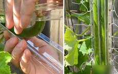 Thử trồng dưa chuột trong khuôn hình trái tim, anh chàng thu hoạch được thành quả cực nhức nhối