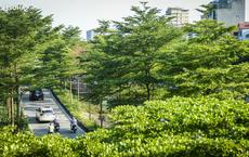 Cận cảnh hàng cây bàng lá nhỏ, chà là trong vụ Tổng Giám đốc công ty cây xanh Hà Nội bị bắt