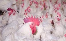 Giá gà lông trắng xuống thấp kỷ lục, chỉ 5.000 đồng/kg mà vẫn không có người mua