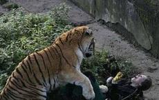 Vô tình ngã xuống khu vực hổ sinh sống, người phụ nữ tưởng sẽ mất mạng, không ngờ con hổ mới gặp bi kịch