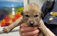 Nhặt chú chó bên đường về nuôi nhưng 1 tuần không nghe tiếng sủa, viên cảnh sát nhận tin dữ: Thả ra ngay, không thể nuôi được!