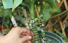Đặt mua chậu cây phát tài trên mạng, gần 1 tháng sau, cảnh tượng xuất hiện trên cây khiến cả nhà kinh hồn bạt vía