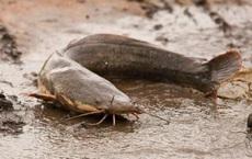Mò đi kiếm ăn, chuột mất mạng trong bụng cá nheo dù cá sống dưới nước, chuột sống trên bờ: Chuyện gì đã xảy ra?