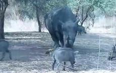 """Clip: Dại dột """"trêu ngươi"""" tê giác, lợn rừng nhận ngay kết đắng"""