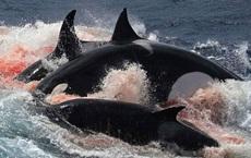 Clip: Cá voi bất lực nhìn con bị cá kình xé xác