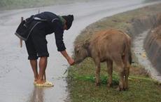 Các tỉnh miền núi phía Bắc: Cho trâu bò uống rượu chống rét