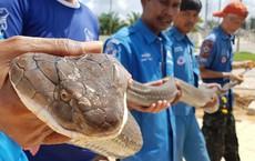24h qua ảnh: Bắt được rắn hổ chúa dài 4m ở Thái Lan