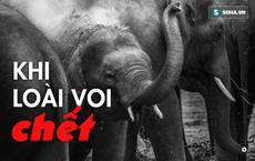 Nước mắt loài voi: Sự tàn khốc từ lòng tham con người, giết voi để lấy 'báu vật' giá nghìn đô