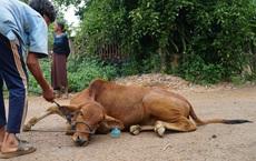 Bò giống vừa cấp cho hộ nghèo đã nằm liệt không đi, dân phải mang công nông tới chở