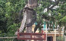 Trăn khủng vắt vẻo trên cột điện trước cổng UBND xã ở Phú Thọ đã bị người dân mổ thịt