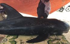 Cá voi dài 2m, nặng 1,5 tạ dạt vào bờ được người dân giải cứu