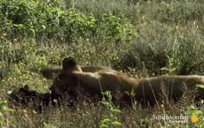 Kết cục khó tin khi linh dương đầu bò con tưởng sư tử là mẹ