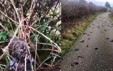 Anh: Hơn 300 con chim lòi ruột rơi xuống đất chết bất thường khiến tin đồn về ngày tận thế lan rộng