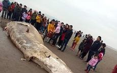 Cá voi nặng 10 tấn trôi dạt vào bờ biển Ninh Bình