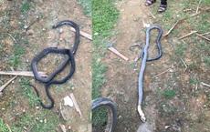Rắn hổ mang chúa dài gần 3m cắn tử vong người đàn ông trồng keo thuê ở Hà Tĩnh
