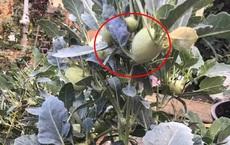 """Hình ảnh """"lạ"""" gây chú ý mạng xã hội: Su hào mọc củ nhiều như cây ăn quả khiến tất cả bất ngờ"""