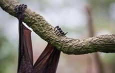 """Virus corona: Cộng sinh với dơi """"ít nhất hơn 10.000 năm"""" và lí do cần sinh vật trung gian để lây sang người"""