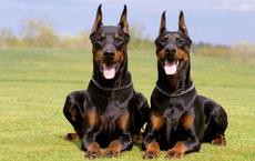 Điểm danh những chú chó nguy hiểm nhất thế giới