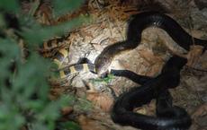 Có nọc độc gấp 15 lần hổ mang chúa, cạp nong vẫn bị giết và ăn thịt như thường