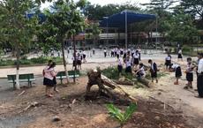 Một cây phượng lại bật gốc đổ trong sân trường tiểu học