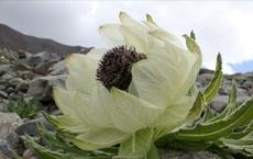 Bông hoa cổ tích giúp bổ thận tráng dương, 7 năm mới nở, được rao bán 100 triệu đồng/kg