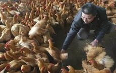 Người nuôi gà Trung Quốc 'sấp mặt' vì Covid-19