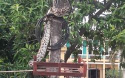 Trăn khủng vắt vẻo trên cột điện trước cổng UBND xã ở Phú Thọ