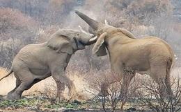 Cận cảnh cuộc chiến tàn khốc khiến voi khổng lồ chết thảm