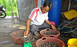 Thả loài sò đặc sản vào vùng nuôi tôm sú, nông dân bất ngờ lãi 4 lần sau 8 tháng