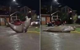 Chú hải cẩu voi nửa đêm lăn lộn giữa phố như ăn vạ, dân tình bấn loạn rủ nhau tới xem