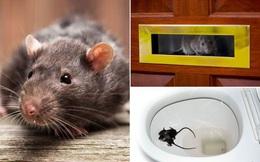 Cơn ác mộng mới của dân Anh: Chuột đột nhập vào nhà qua ống cống, có con to bằng con thỏ